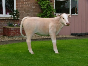 Calf Charolais (JR 1636C)