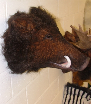 Boar Head Mounts http://www.lifesize-models.co.uk/product.php?id=352