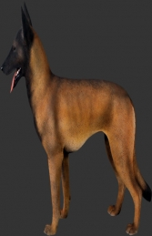 Belgian Malinois (JR 110127)