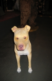 Pit Bull - Young Male (JR 120056)