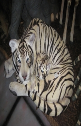 Bengal Tigress with Cub - Siberian White (JR 120011w)